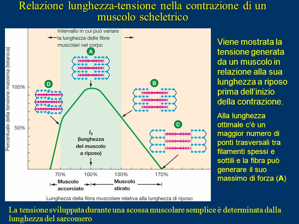 Relazione lunghezza-tensione nella contrazione di un muscolo scheletrico