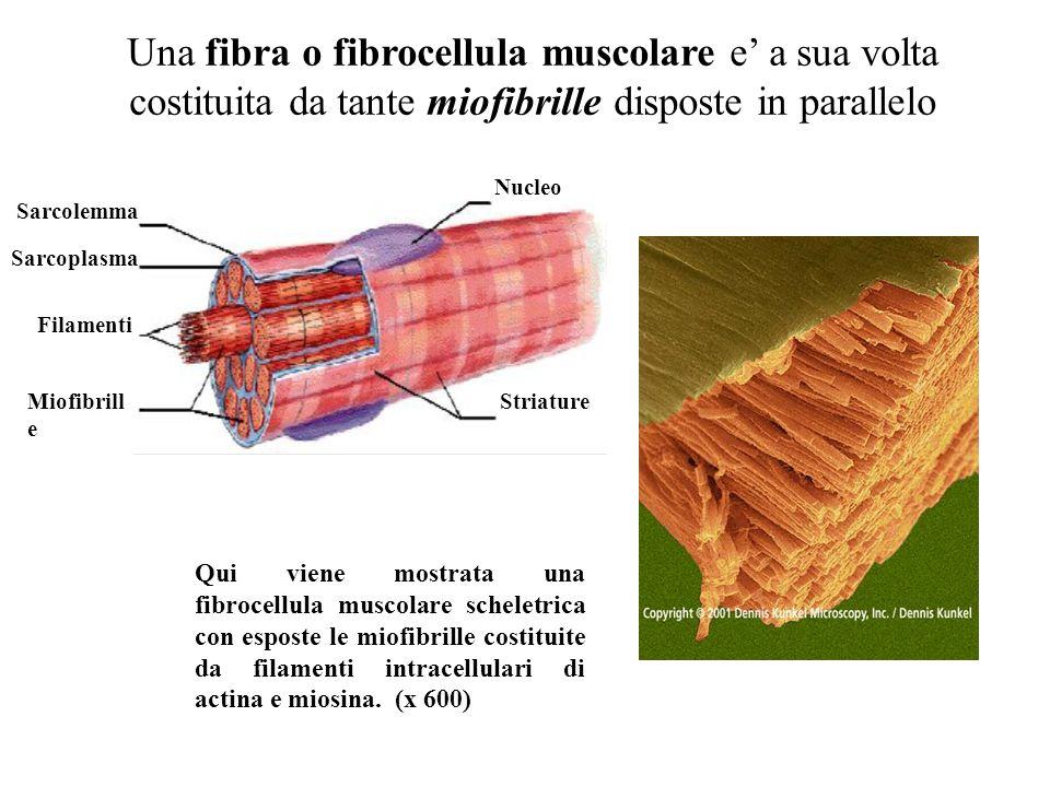 Una fibra o fibrocellula muscolare e' a sua volta costituita da tante miofibrille disposte in parallelo