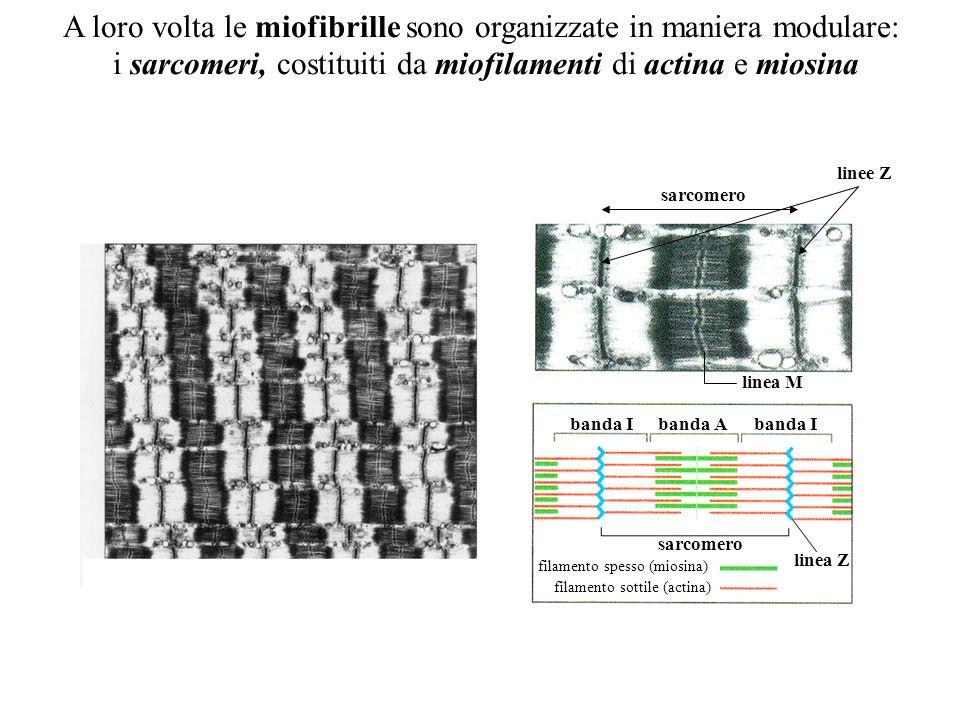 A loro volta le miofibrille sono organizzate in maniera modulare: