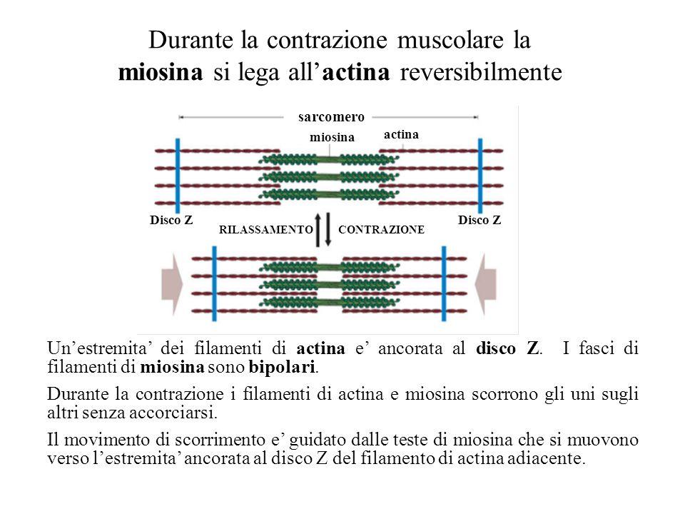 Durante la contrazione muscolare la miosina si lega all'actina reversibilmente