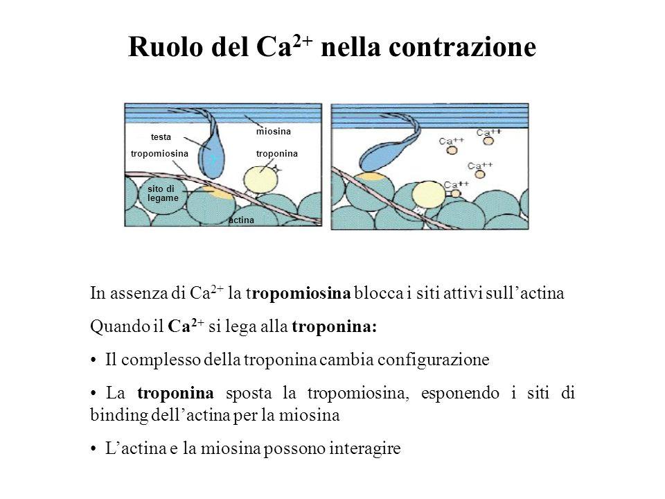 Ruolo del Ca2+ nella contrazione