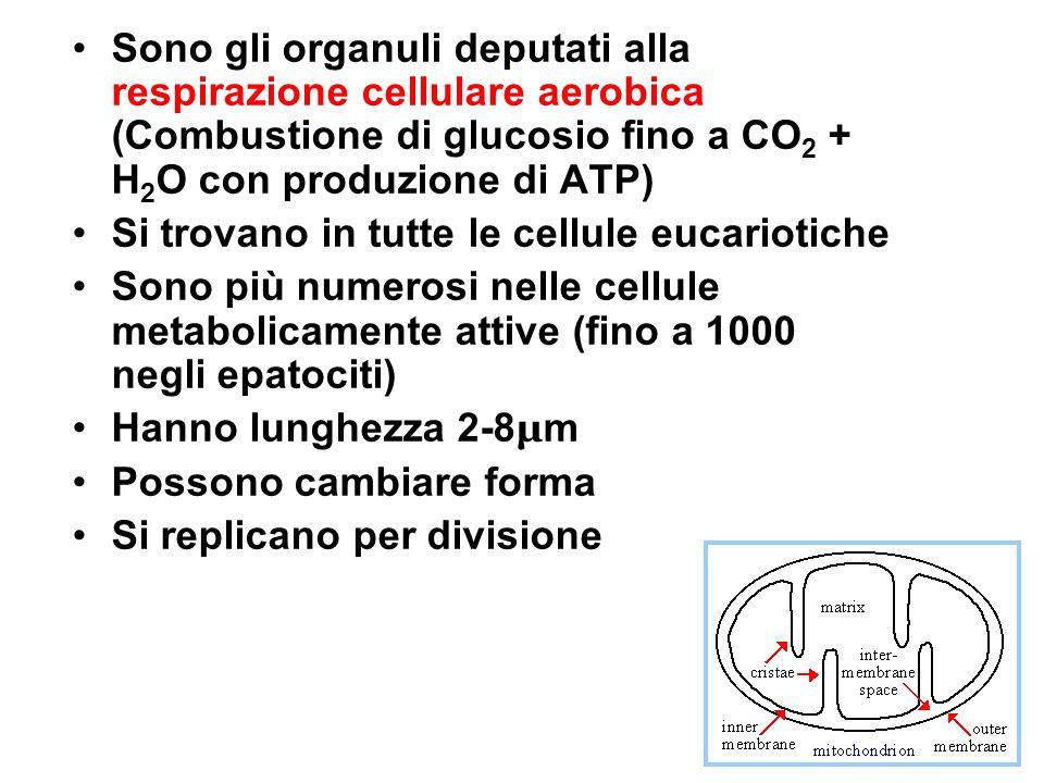 Sono gli organuli deputati alla respirazione cellulare aerobica (Combustione di glucosio fino a CO2 + H2O con produzione di ATP)