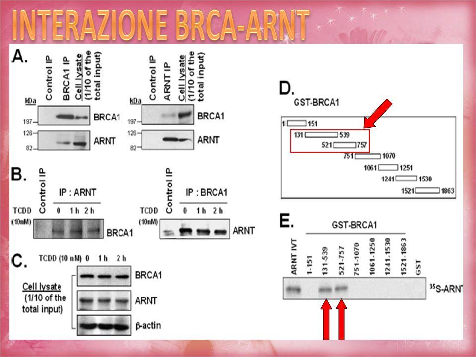 INTERAZIONE BRCA-ARNT
