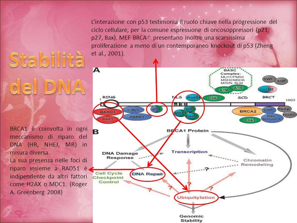 L'interazione con p53 testimonia il ruolo chiave nella progressione del ciclo cellulare, per la comune espressione di oncosoppressori (p21, p27, Bax). MEF BRCA-/- presentano inoltre una scarsissima proliferazione a meno di un contemporaneo knockout di p53 (Zheng et al., 2001).