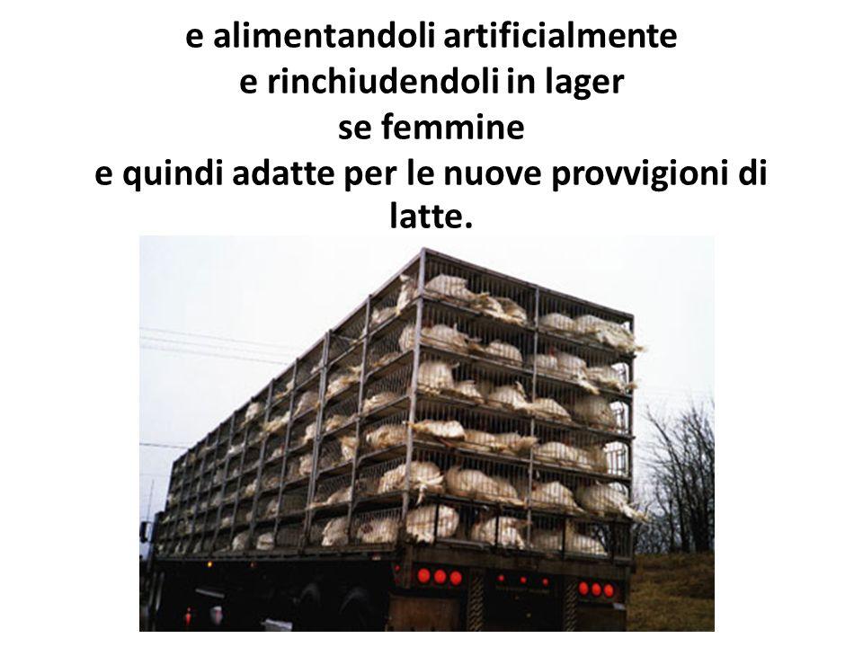 e alimentandoli artificialmente e rinchiudendoli in lager se femmine e quindi adatte per le nuove provvigioni di latte.