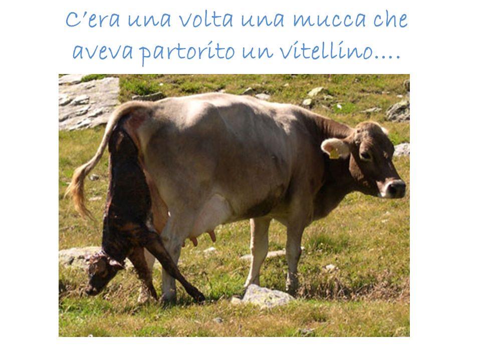 C'era una volta una mucca che aveva partorito un vitellino….