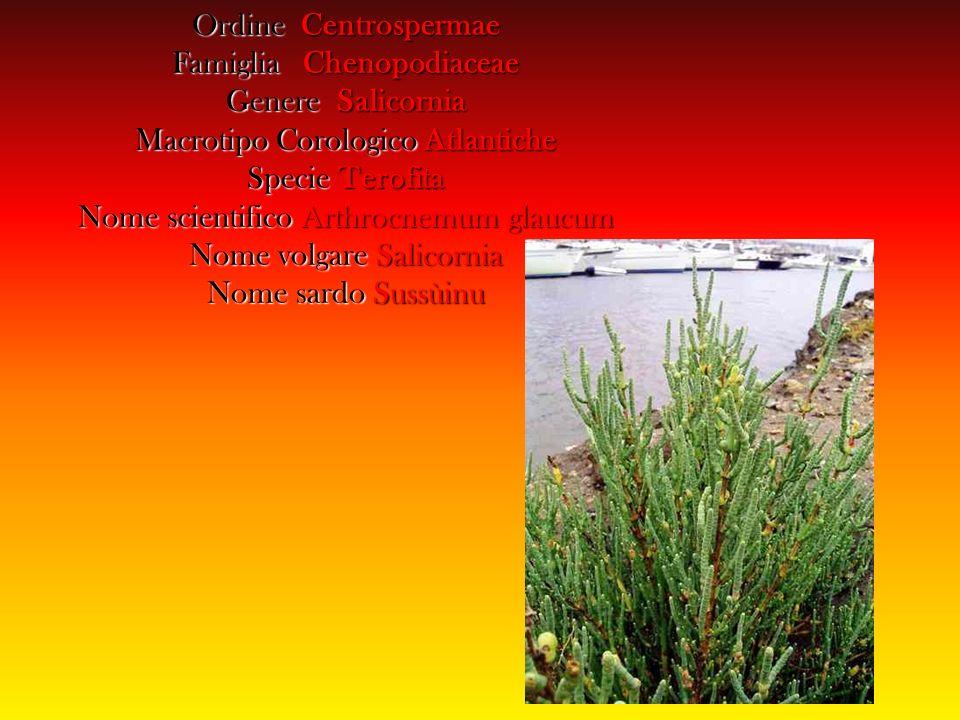 Famiglia Chenopodiaceae Genere Salicornia