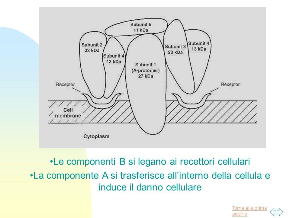 Le componenti B si legano ai recettori cellulari