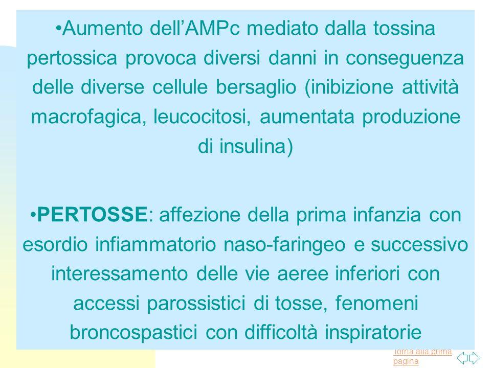 Aumento dell'AMPc mediato dalla tossina pertossica provoca diversi danni in conseguenza delle diverse cellule bersaglio (inibizione attività macrofagica, leucocitosi, aumentata produzione di insulina)
