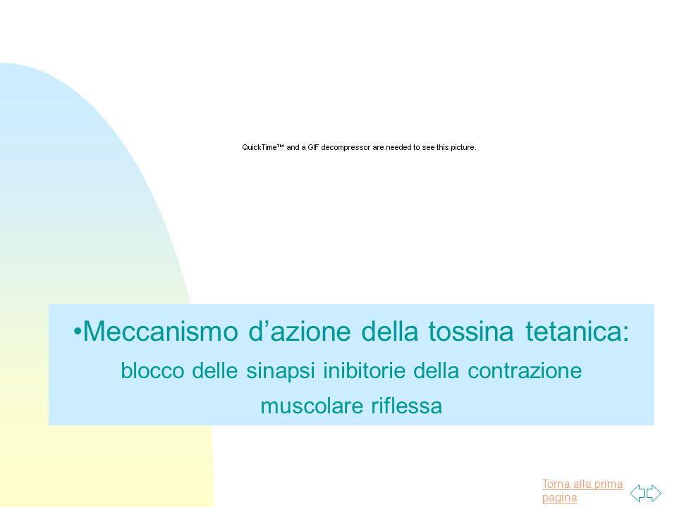 Meccanismo d'azione della tossina tetanica: blocco delle sinapsi inibitorie della contrazione muscolare riflessa