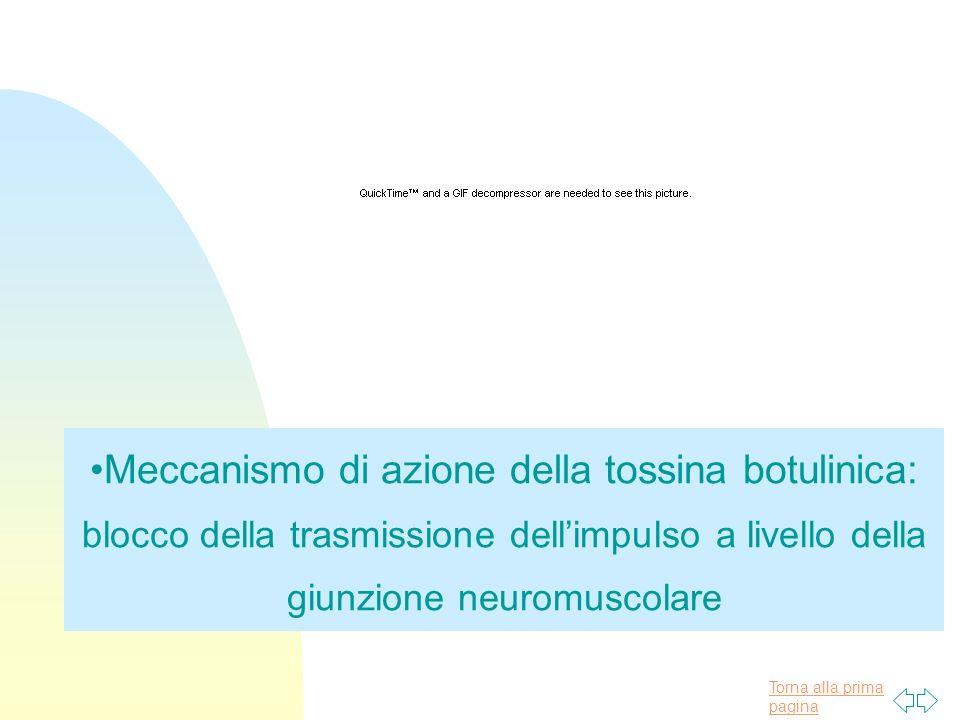 Meccanismo di azione della tossina botulinica: blocco della trasmissione dell'impulso a livello della giunzione neuromuscolare