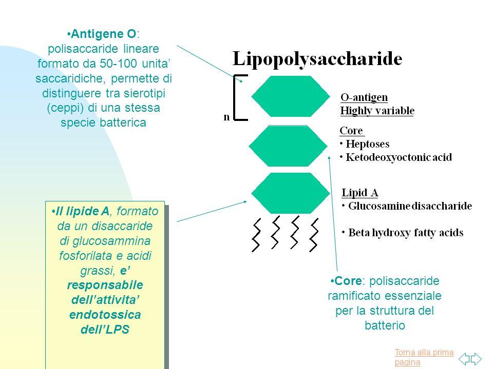 Antigene O: polisaccaride lineare formato da 50-100 unita' saccaridiche, permette di distinguere tra sierotipi (ceppi) di una stessa specie batterica