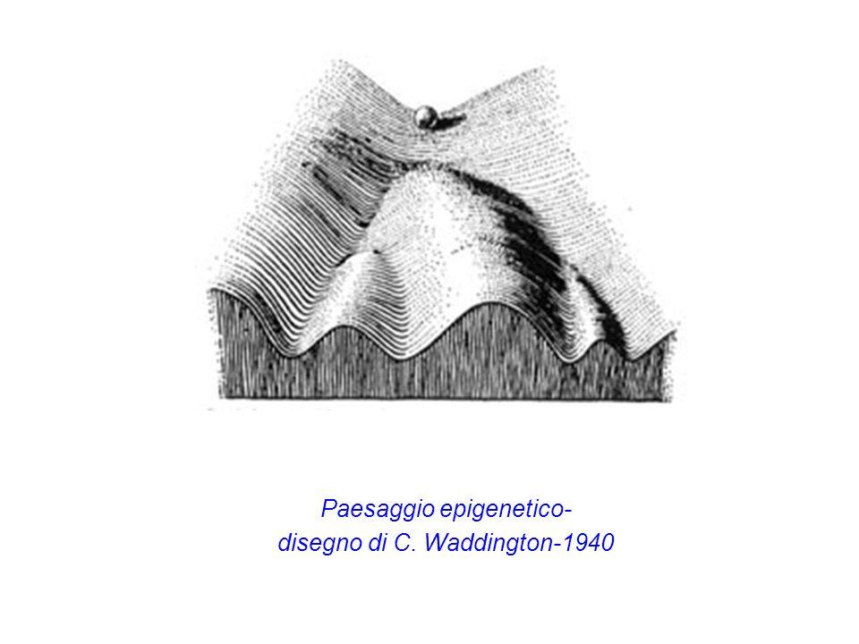 Paesaggio epigenetico- disegno di C. Waddington-1940