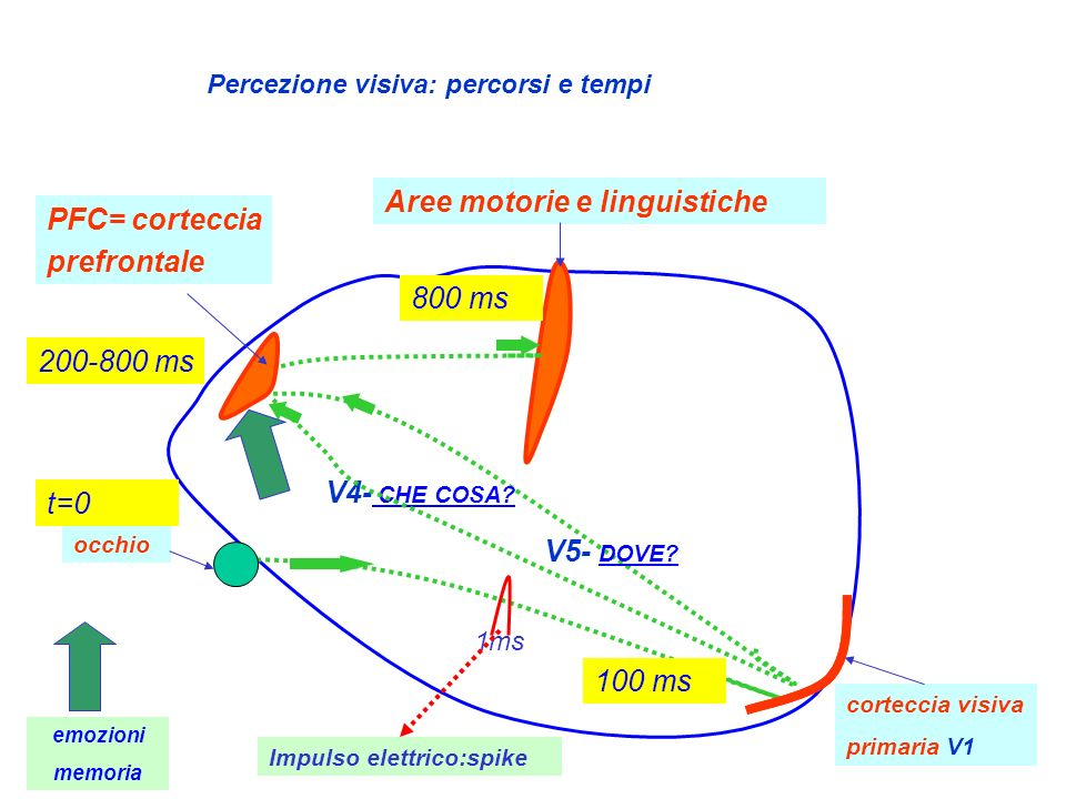 Aree motorie e linguistiche PFC= corteccia prefrontale
