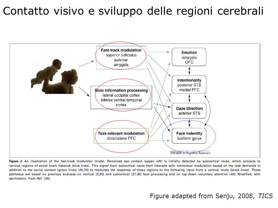 Contatto visivo e sviluppo delle regioni cerebrali