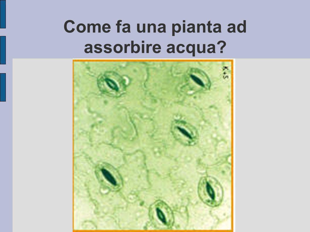 Come fa una pianta ad assorbire acqua