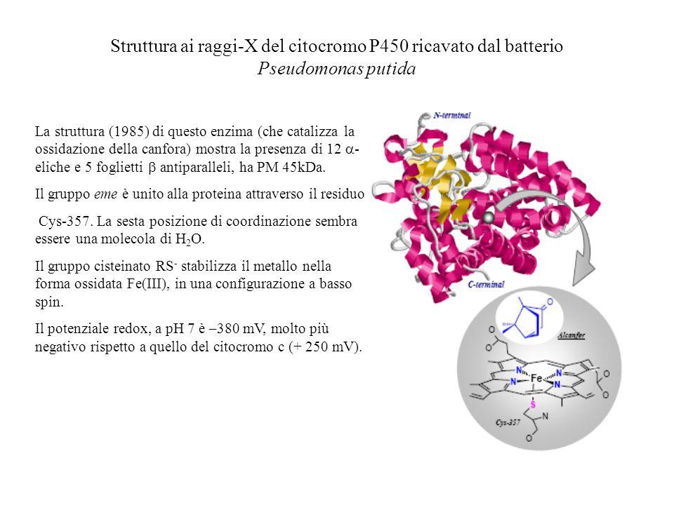 Struttura ai raggi-X del citocromo P450 ricavato dal batterio Pseudomonas putida