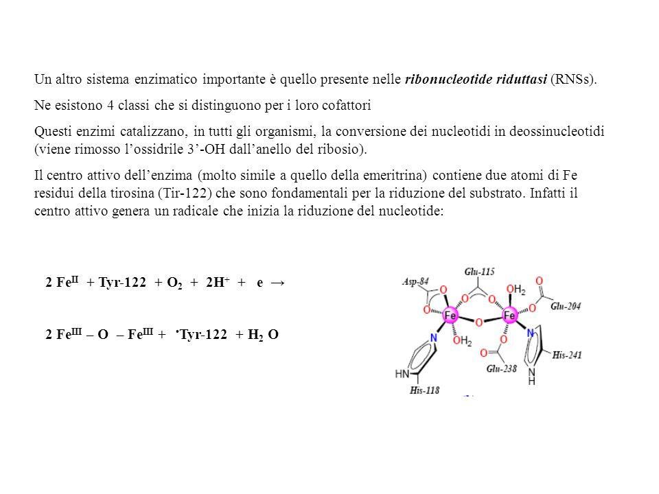 Un altro sistema enzimatico importante è quello presente nelle ribonucleotide riduttasi (RNSs).