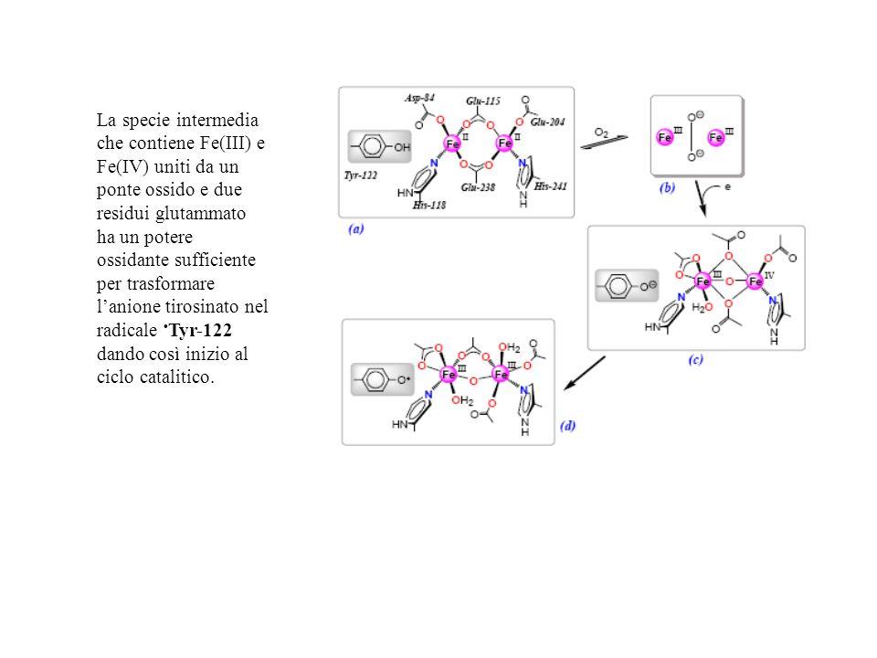 La specie intermedia che contiene Fe(III) e Fe(IV) uniti da un ponte ossido e due residui glutammato ha un potere ossidante sufficiente per trasformare l'anione tirosinato nel radicale •Tyr-122 dando così inizio al ciclo catalitico.