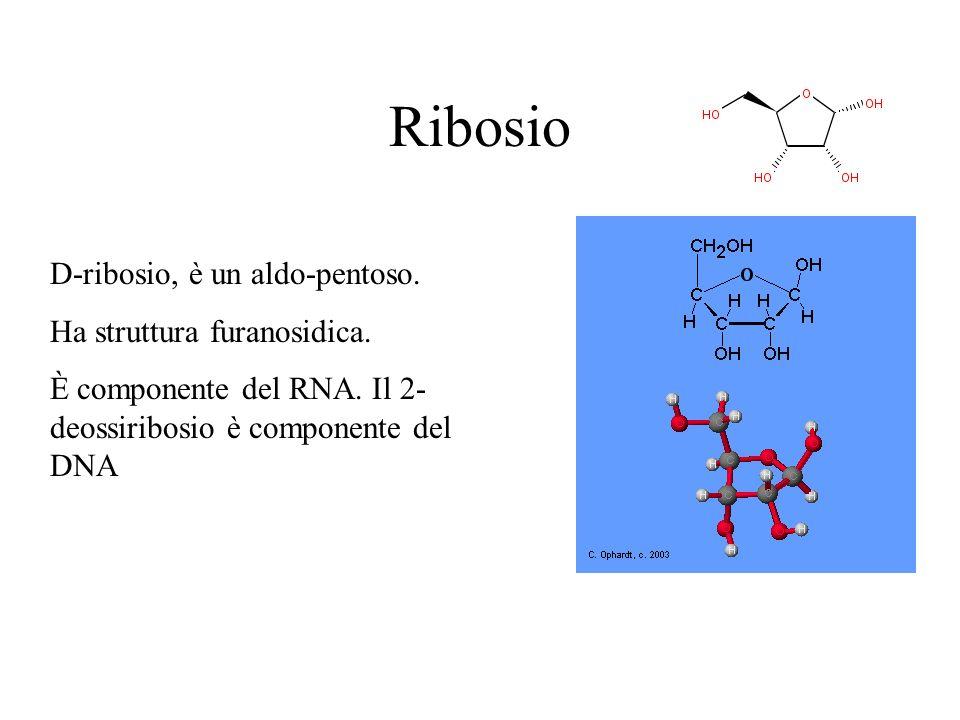 Ribosio D-ribosio, è un aldo-pentoso. Ha struttura furanosidica.