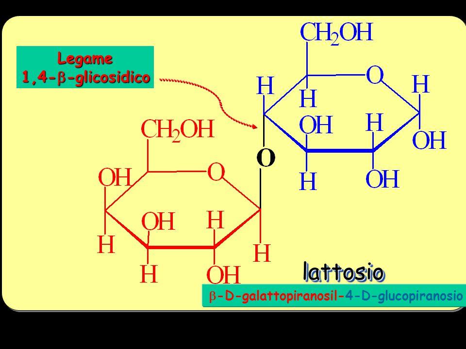 lattosio Legame 1,4-b-glicosidico