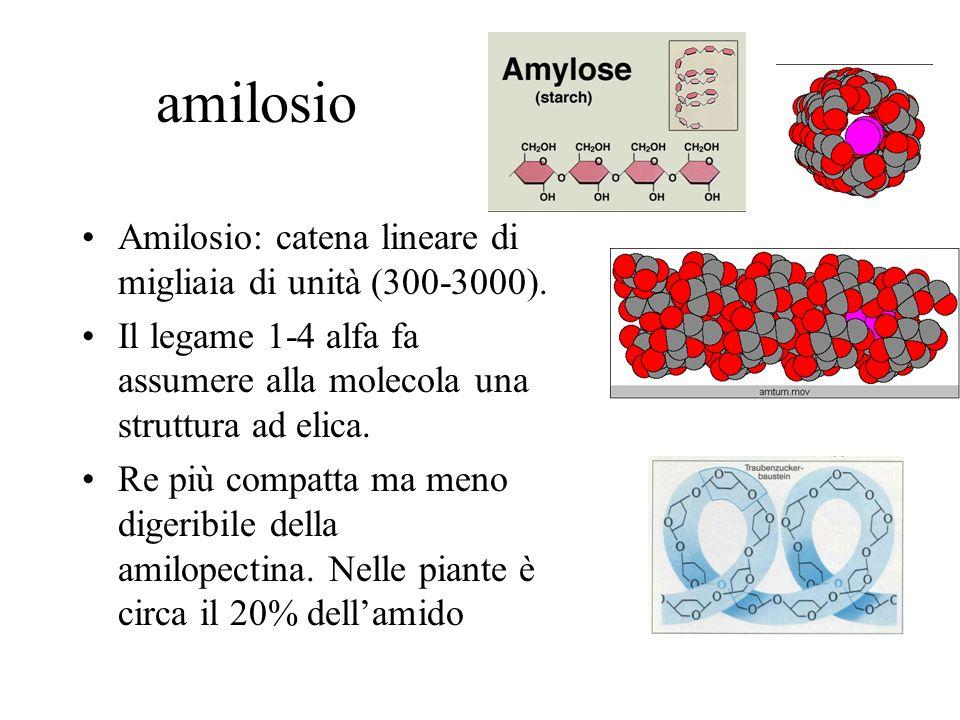 amilosio Amilosio: catena lineare di migliaia di unità (300-3000).