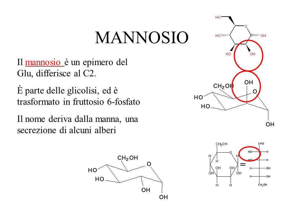 MANNOSIO Il mannosio è un epimero del Glu, differisce al C2.