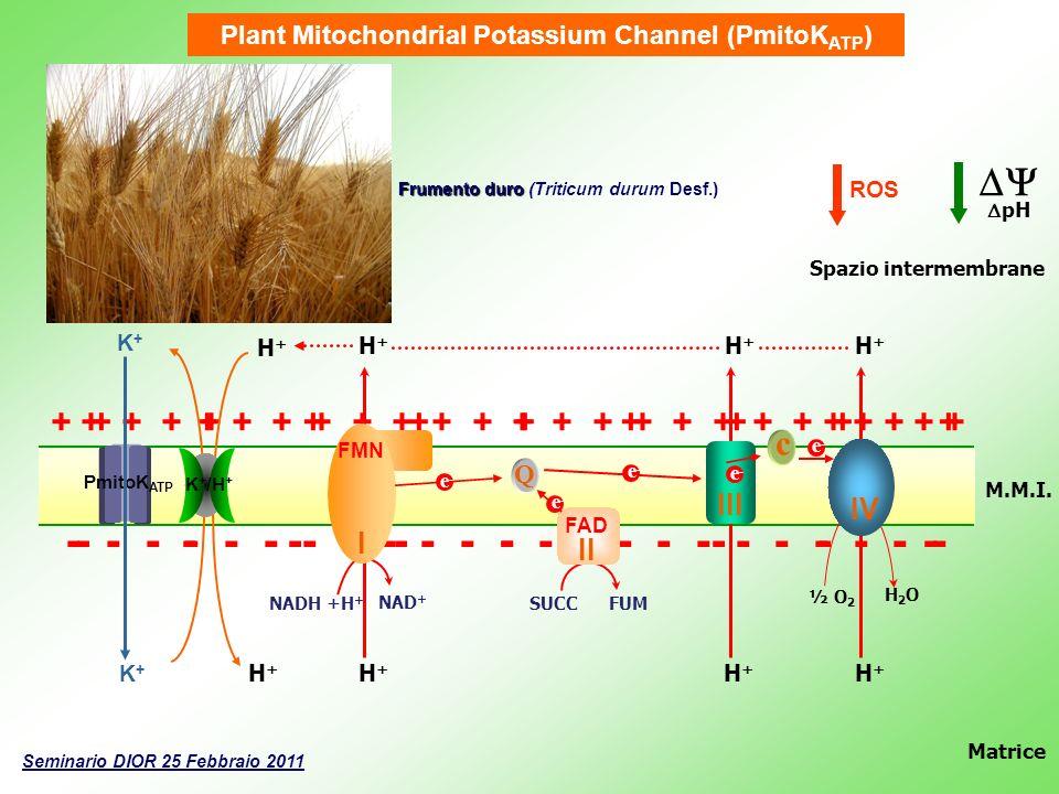 Plant Mitochondrial Potassium Channel (PmitoKATP)
