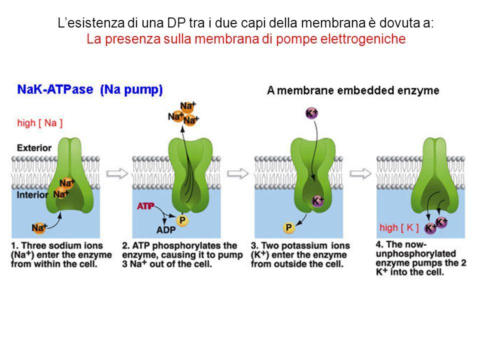 L'esistenza di una DP tra i due capi della membrana è dovuta a: La presenza sulla membrana di pompe elettrogeniche