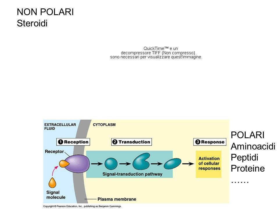 NON POLARI Steroidi POLARI Aminoacidi Peptidi Proteine ……