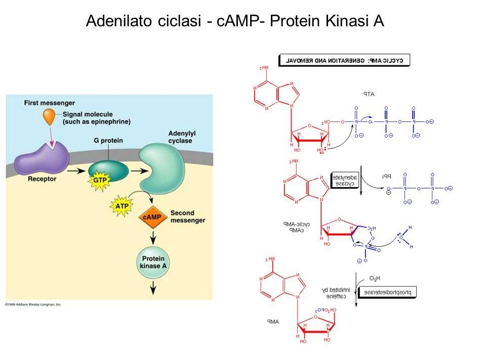 Adenilato ciclasi - cAMP- Protein Kinasi A