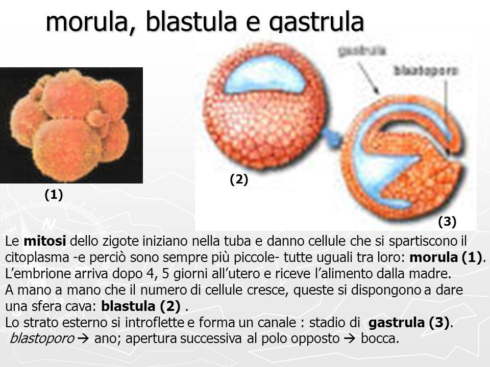 morula, blastula e gastrula
