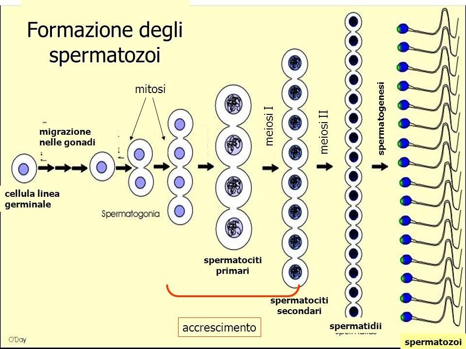 Formazione degli spermatozoi