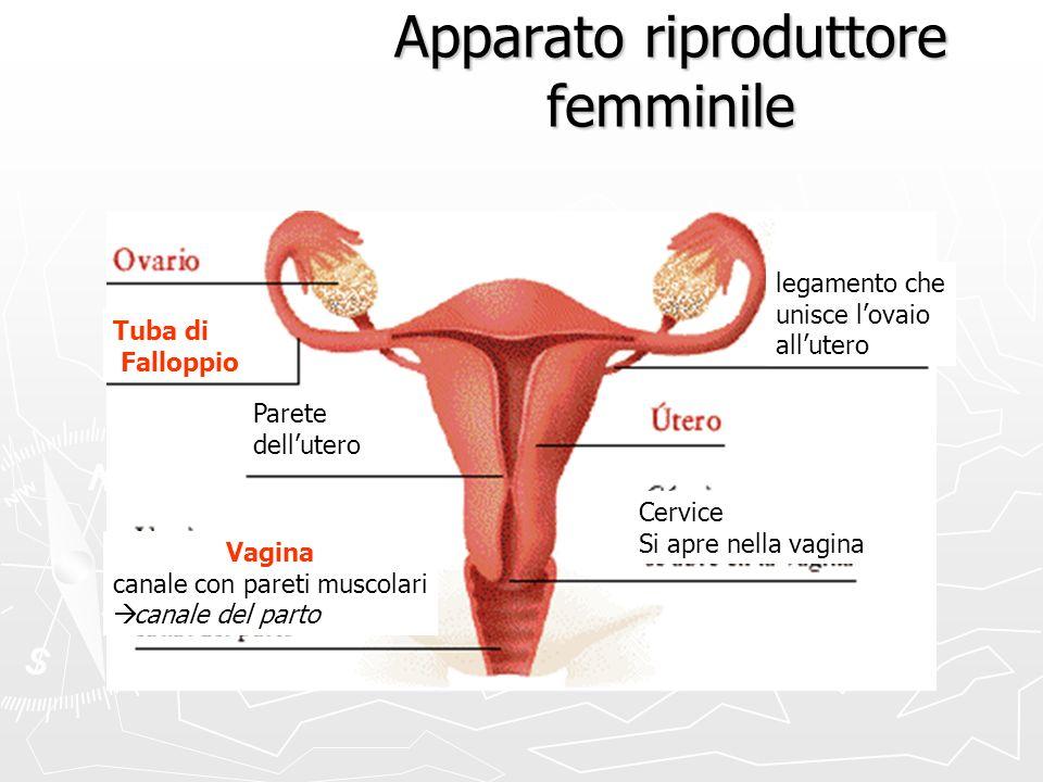 Apparato riproduttore femminile