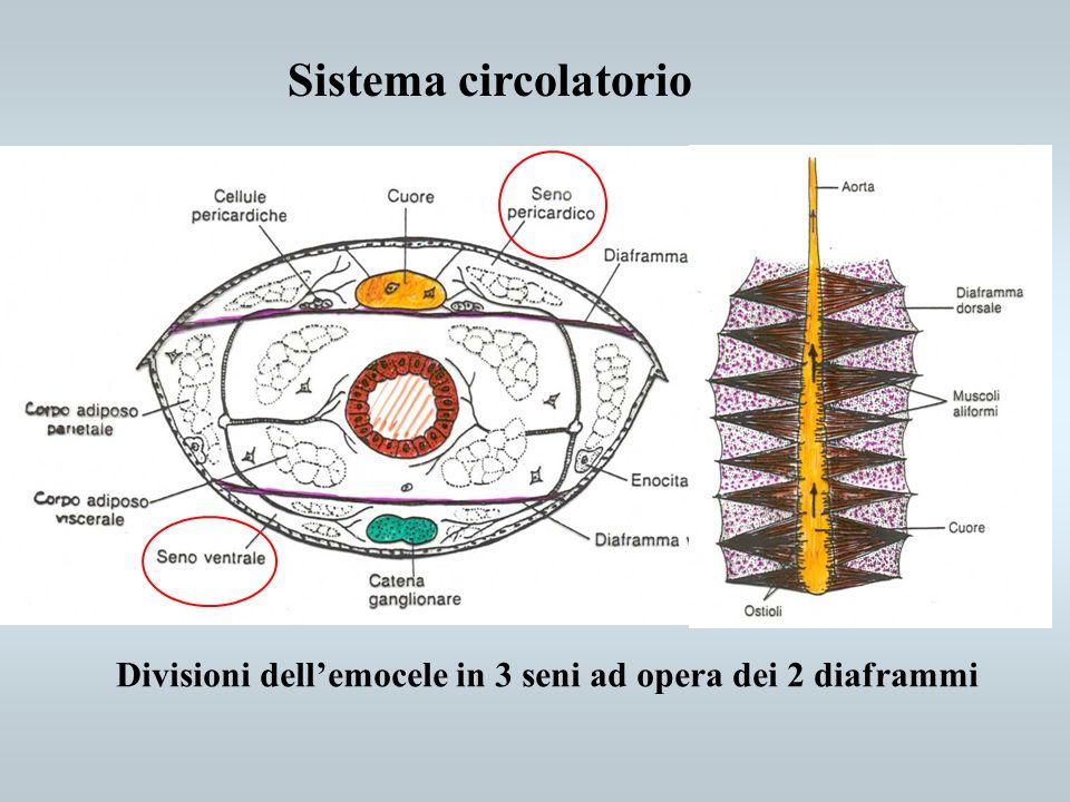Sistema circolatorio Divisioni dell'emocele in 3 seni ad opera dei 2 diaframmi