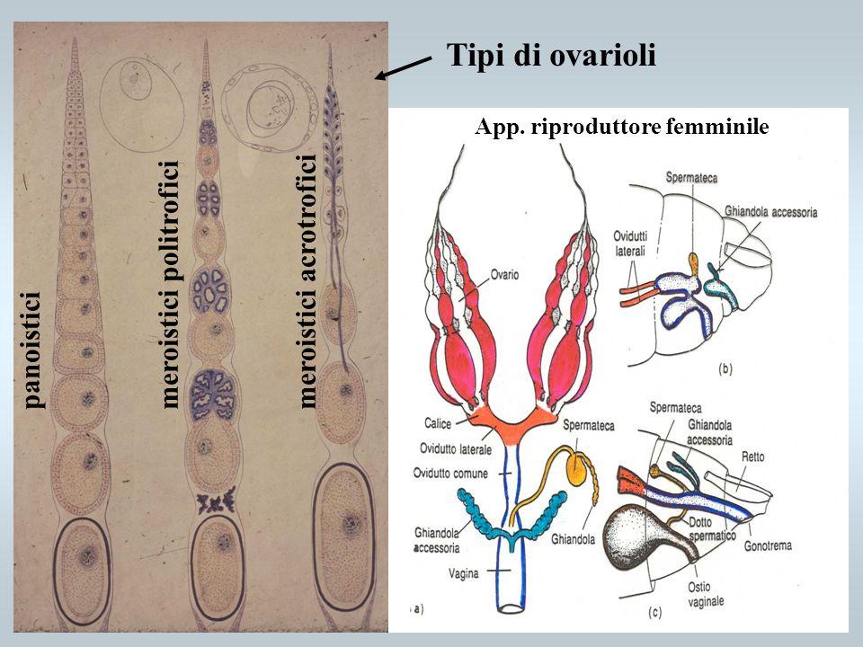 Tipi di ovarioli meroistici politrofici meroistici acrotrofici