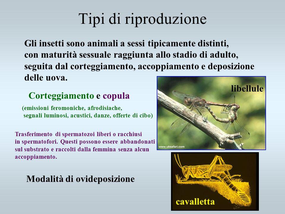 Tipi di riproduzione Gli insetti sono animali a sessi tipicamente distinti, con maturità sessuale raggiunta allo stadio di adulto,