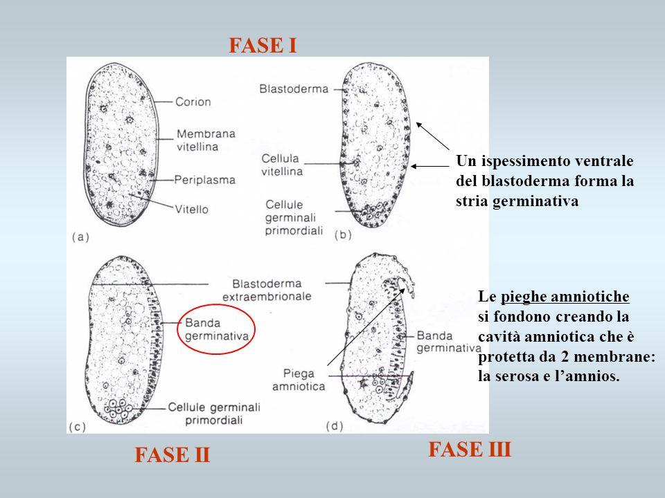 FASE I FASE III FASE II Un ispessimento ventrale