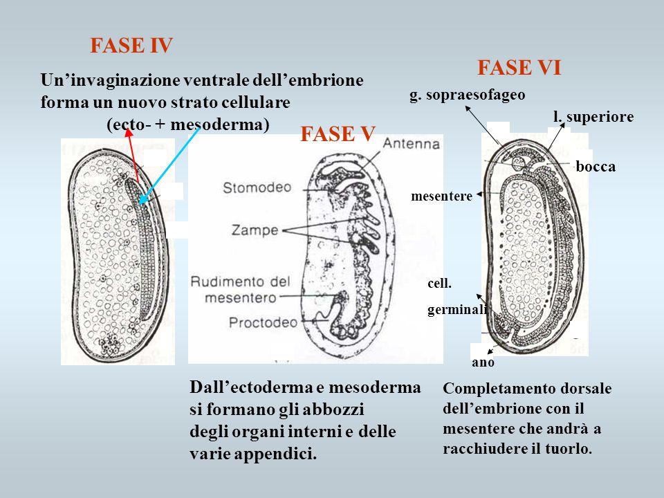 FASE IV FASE VI FASE V Un'invaginazione ventrale dell'embrione