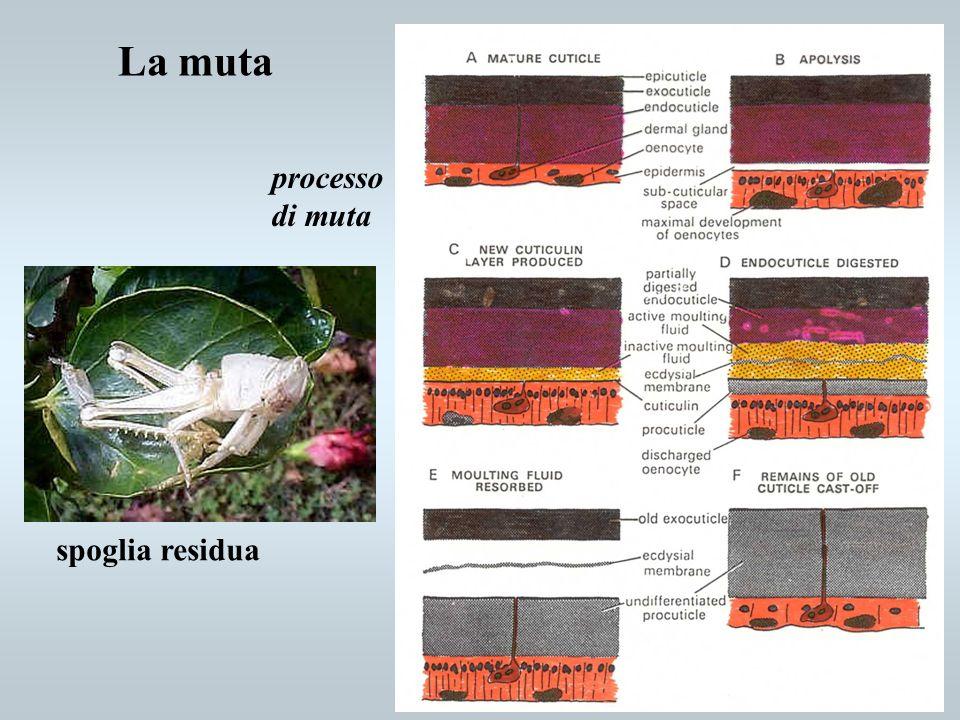 La muta processo di muta spoglia residua