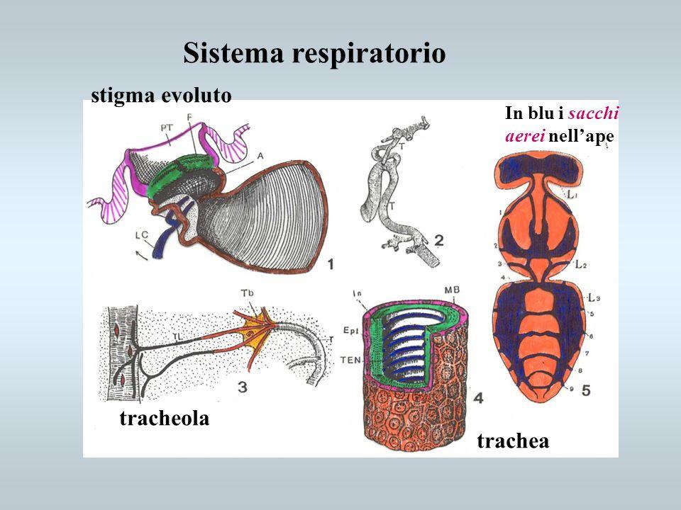 Sistema respiratorio stigma evoluto tracheola trachea In blu i sacchi