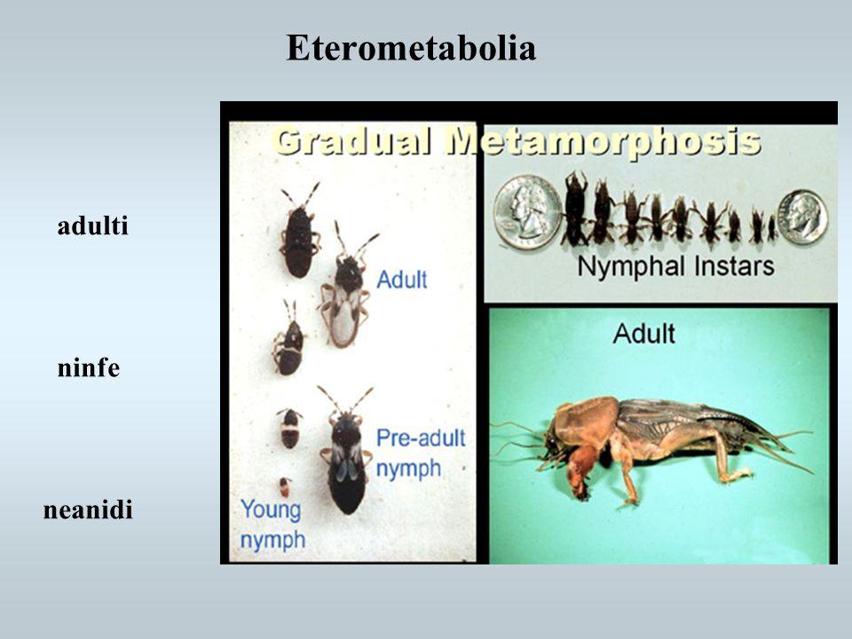 Eterometabolia adulti ninfe neanidi