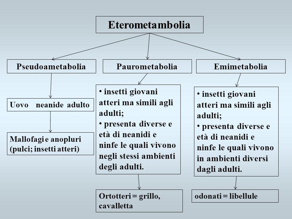 Eterometambolia Pseudoametabolia Paurometabolia Emimetabolia