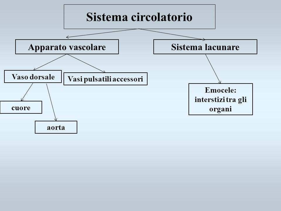 Vasi pulsatili accessori Emocele: interstizi tra gli organi