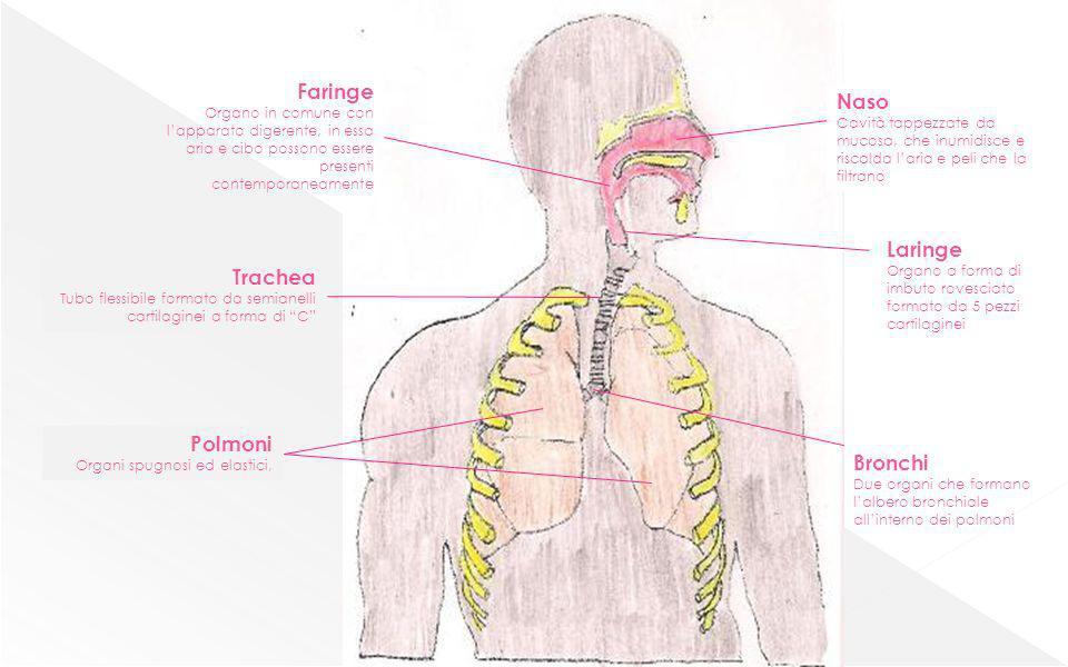 Faringe Naso Laringe Trachea Polmoni Bronchi