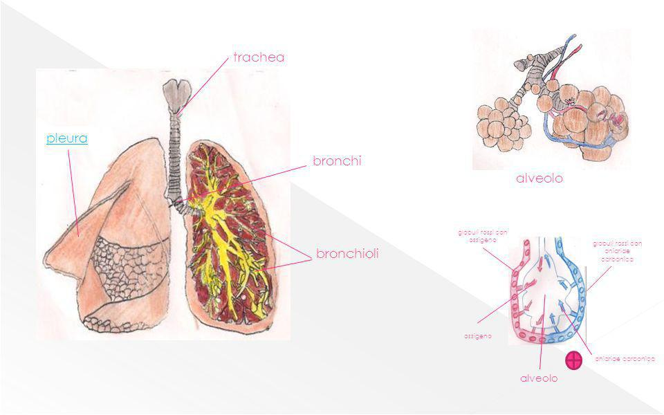 trachea pleura bronchi alveolo bronchioli alveolo
