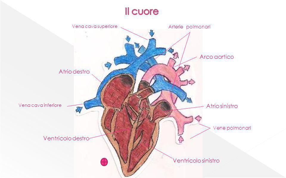 Il cuore Arco aortico Atrio destro Atrio sinistro Ventricolo destro