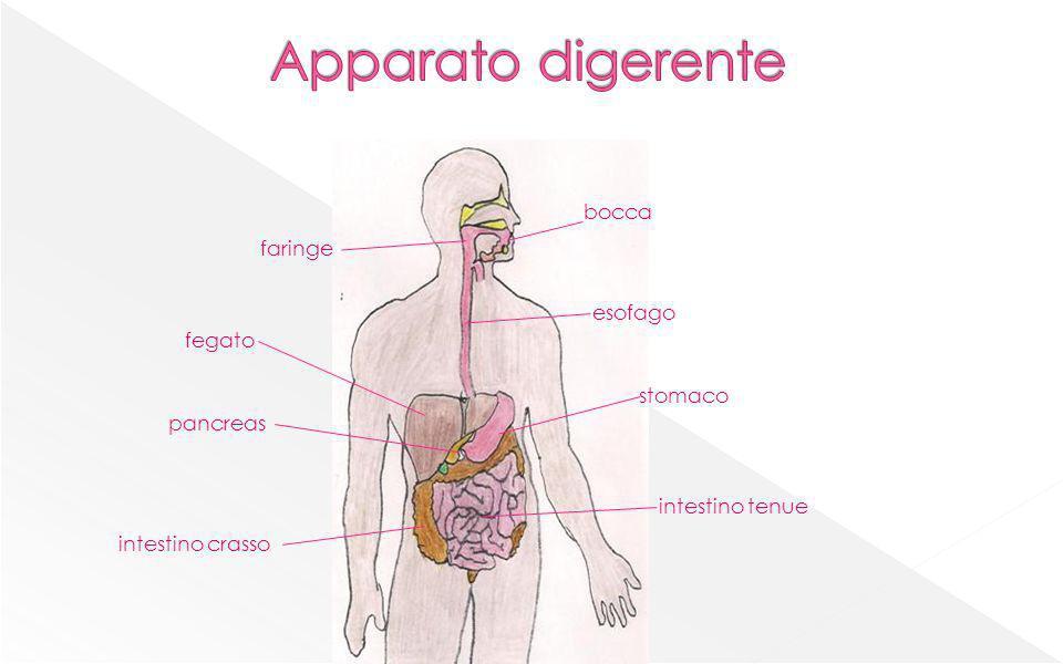 Apparato digerente bocca faringe esofago fegato stomaco pancreas
