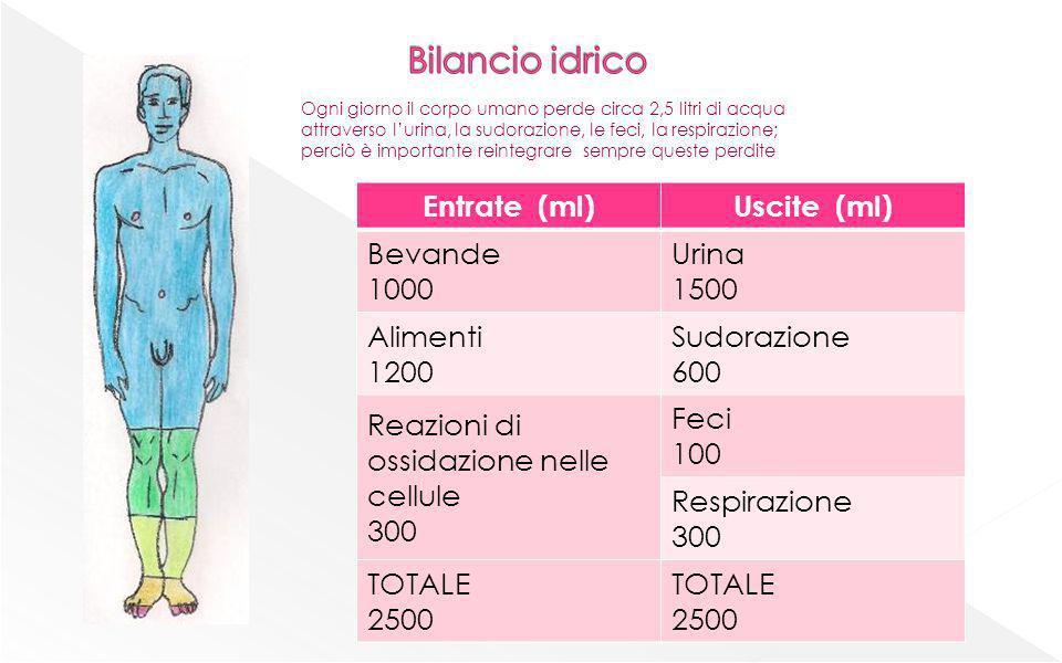 Bilancio idrico Entrate (ml) Uscite (ml) Bevande 1000 Urina 1500