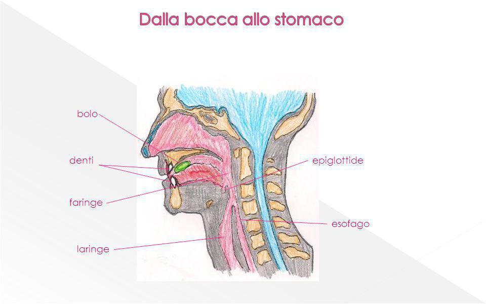 Dalla bocca allo stomaco